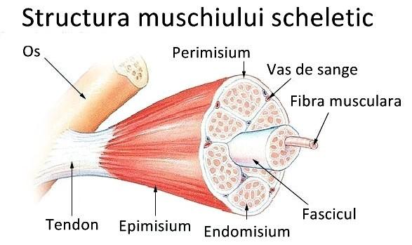 Contractura musculara Contracturi musculare